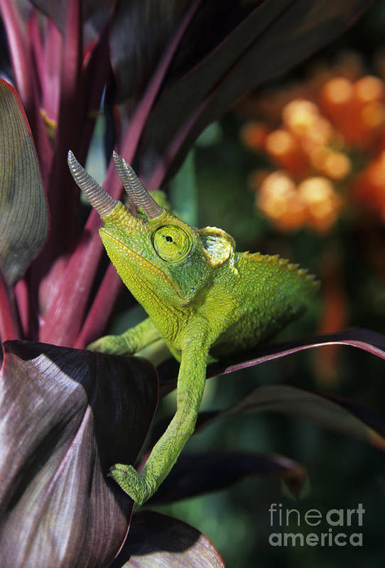 Animal Poster featuring the photograph Jacksons Chameleon On Leaf by Dave Fleetham - Printscapes