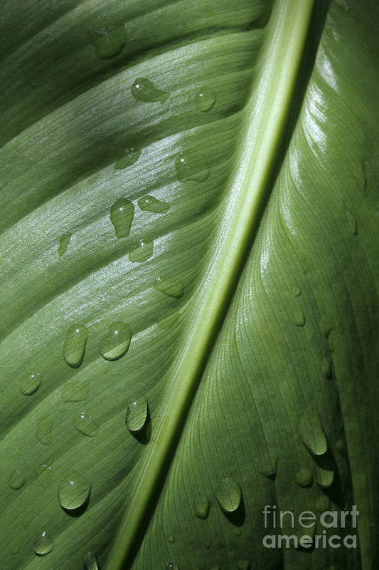 Leaf Poster featuring the photograph Morning Dew by Jeannie Burleson