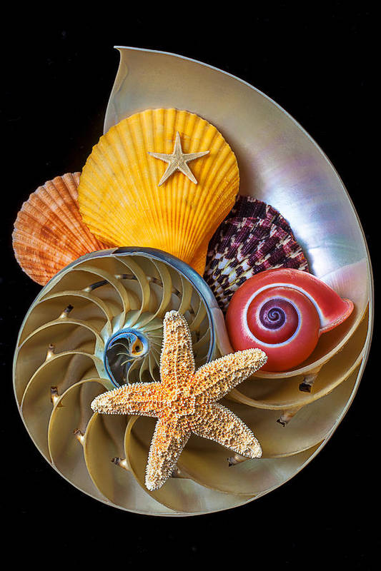 Chambered Nautilus Poster featuring the photograph Nautilus With Sea Shells by Garry Gay