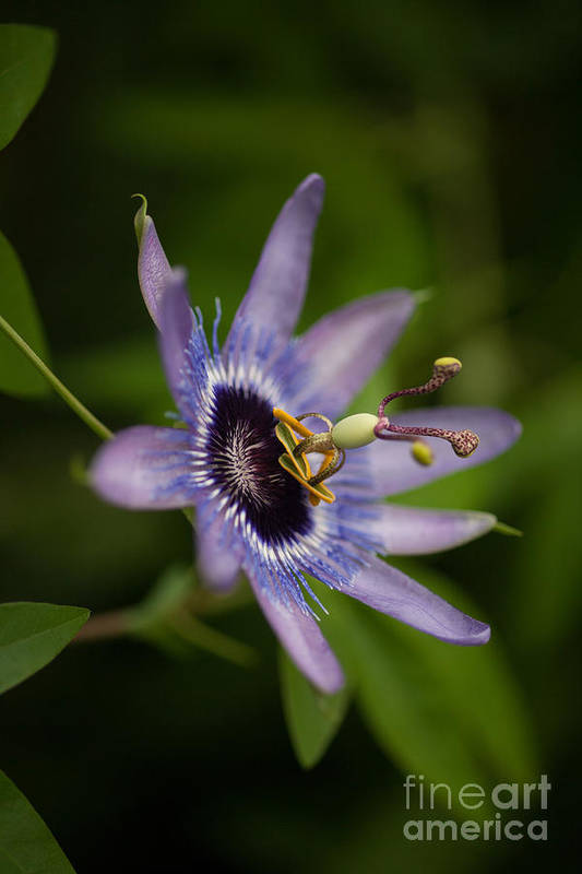 Passion Flower Poster featuring the photograph Passiflora by Mike Reid