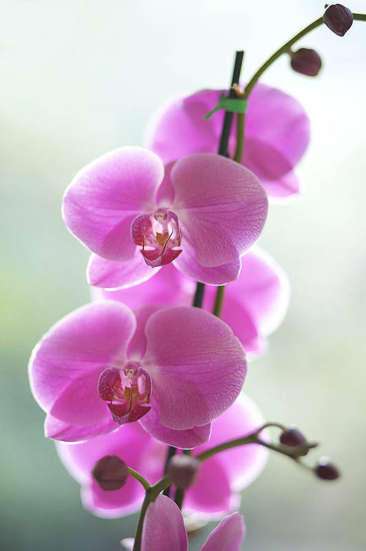 Background Poster featuring the photograph Pink Orchids by Kicka Witte - Printscapes