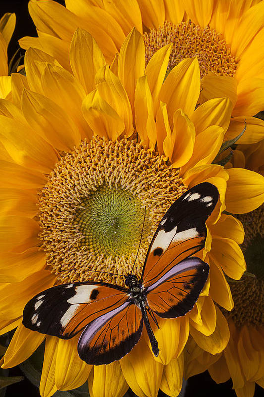 Pretty Poster featuring the photograph Pretty Butterfly On Sunflowers by Garry Gay