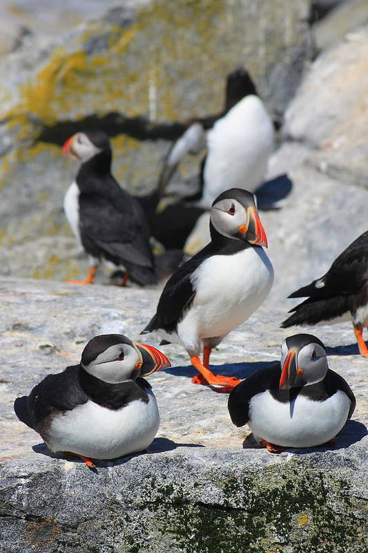 Wildlife Poster featuring the photograph Puffins At Rest by John Burk