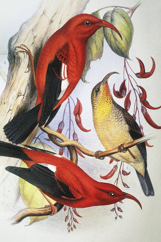 1893 Poster featuring the painting Red Hawaiian Honeycreeper by Hawaiian Legacy Archive - Printscapes
