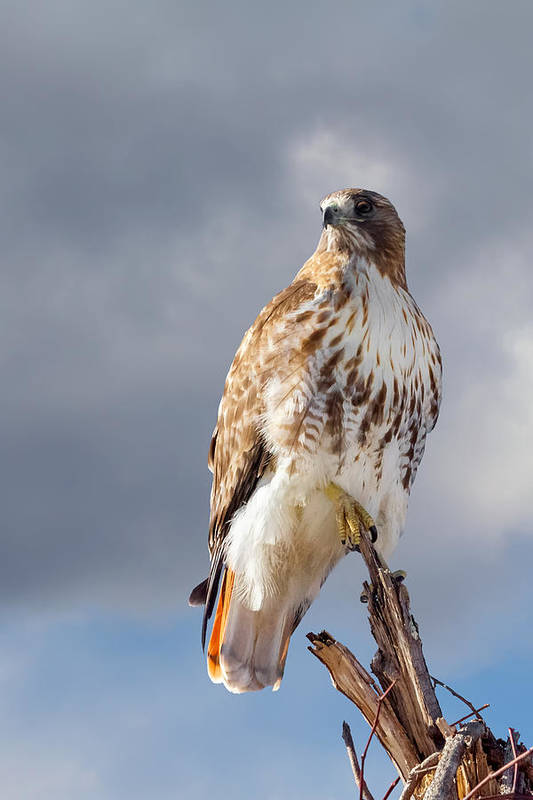 Redtail Hawk Poster featuring the photograph Redtail Portrait by Bill Wakeley