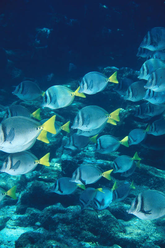 Diving Poster featuring the photograph School Of Surgeonfish Cruising Reef by James Forte