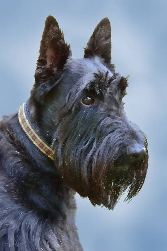 Scottish Terrier Poster featuring the photograph Scottish Terrier Dog by Jennie Marie Schell