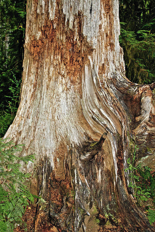 Red Cedar Tree Poster featuring the photograph Trees On The Trails - Olympic National Park Wa by Christine Till