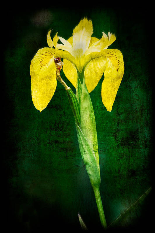 Vintage Poster featuring the photograph Vintage Canna Lily by Rich Leighton