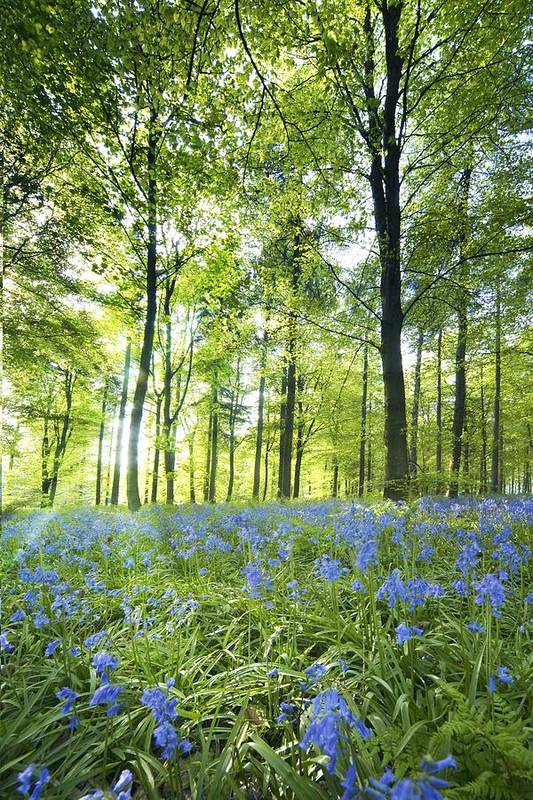 British Poster featuring the photograph Wildflowers In A Forest Of Trees by John Short