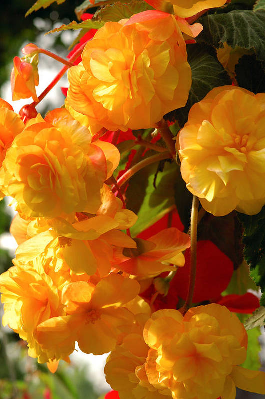 Begonia Flowers Poster featuring the photograph Yellow Begonia Flowers. Victoria by Darlyne A. Murawski
