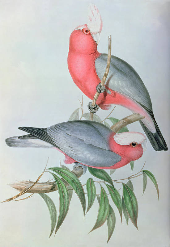 Cockatoo Poster featuring the painting Birds Of Asia by John Gould