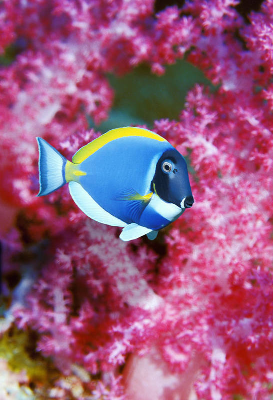Surgeonfish Poster featuring the photograph Powder Blue Surgeonfish by Georgette Douwma