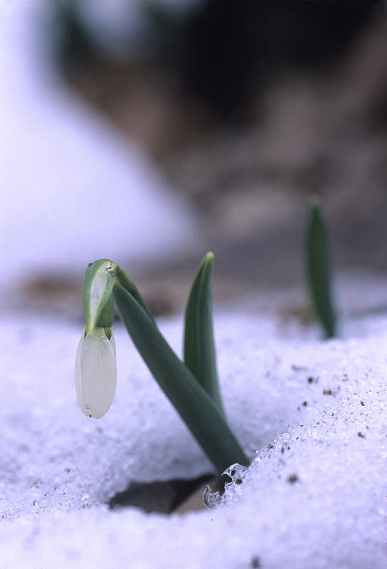 Perseverence Poster featuring the photograph A Snowdrop Pushes Through The Snow by Taylor S. Kennedy