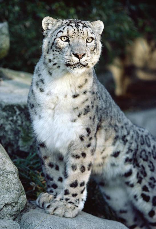 Mp Poster featuring the photograph Snow Leopard Uncia Uncia Portrait by Gerry Ellis
