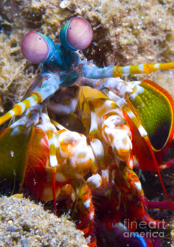 Invertebrate Poster featuring the photograph Close-up View Of A Mantis Shrimp by Steve Jones