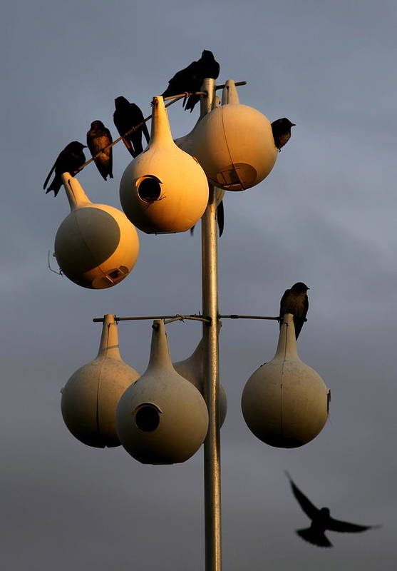 Purple Martins Poster featuring the photograph Purple Martin Twilight by Karen Wiles