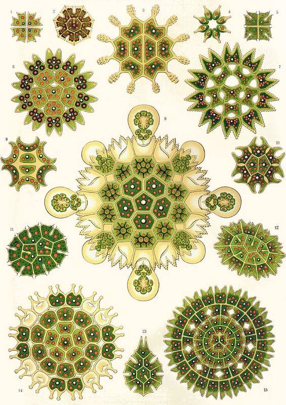 Vertical Poster featuring the painting Varities Of Pediastrum From Kunstformen Der Natur by Ernst Haeckel