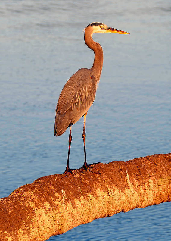 Wildlife Photography Poster featuring the photograph Heron On Palm by David Lee Thompson