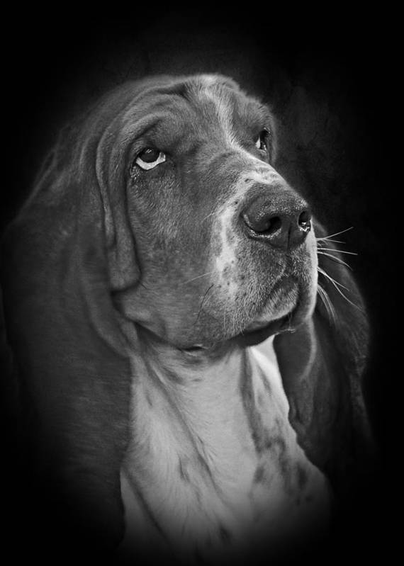 Bassets Poster featuring the photograph Cute Overload - The Basset Hound by Christine Till