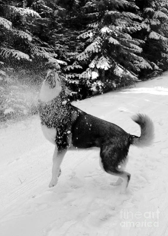Dog Poster featuring the photograph Playing In The Snow by Carol Groenen