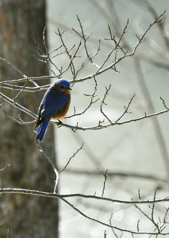 Sialia Sialis Poster featuring the photograph Winter Bluebird by Rebecca Sherman