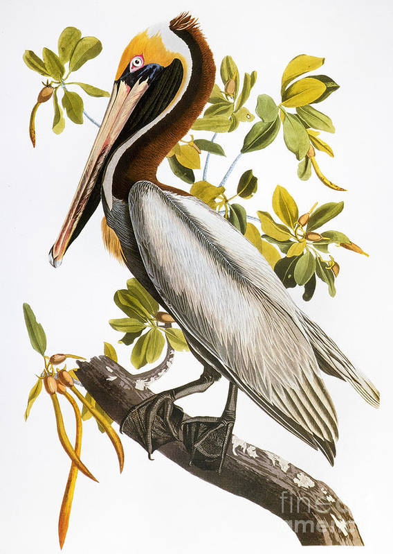 1838 Poster featuring the photograph Audubon: Pelican by Granger