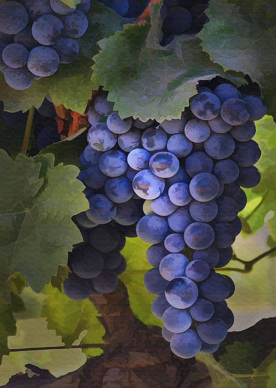 Grape Poster featuring the photograph Purple Blush by Sharon Foster
