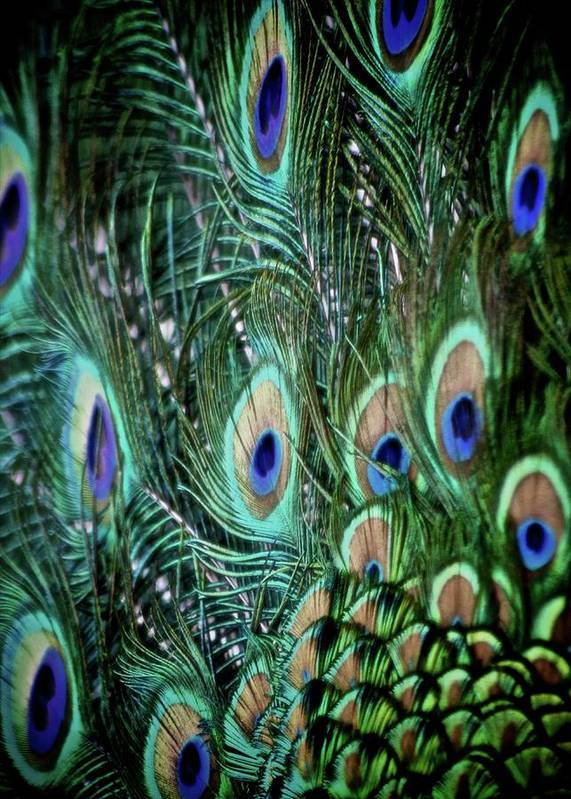Feathers Poster featuring the photograph Someone Is Watching You by Odd Jeppesen