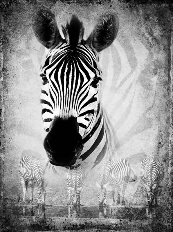 Zebra Poster featuring the photograph Zebra Profile In Bw by Ronel Broderick