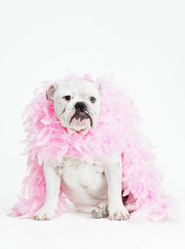Vertical Poster featuring the photograph Bulldog Wearing Feather Boa by Max Oppenheim
