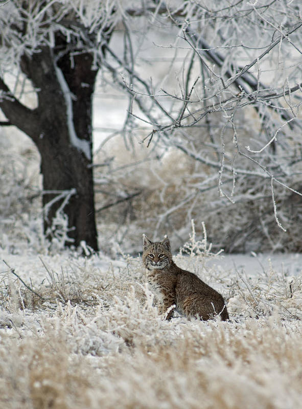Bobcat Poster featuring the photograph Bobcat And Heavy Frost by Gary Langley