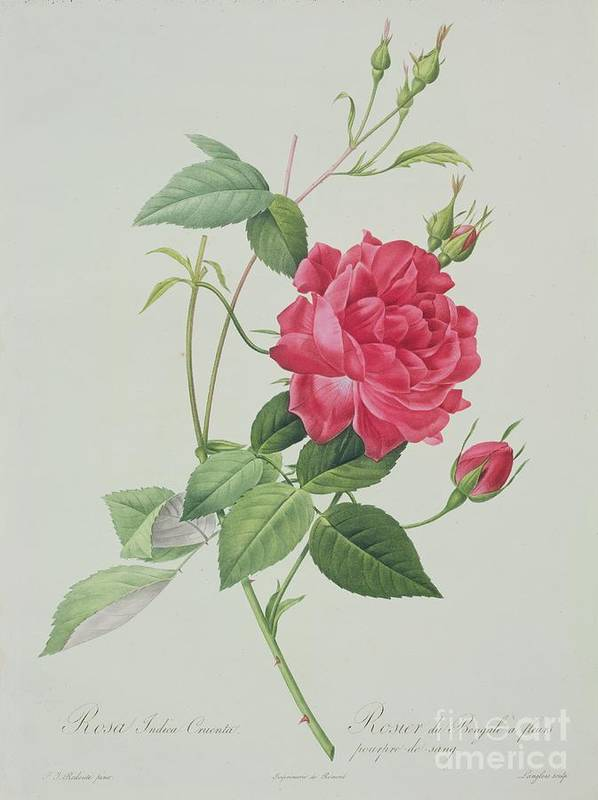 Red Poster featuring the drawing Rosa Indica Cruenta by Pierre Joseph Redoute