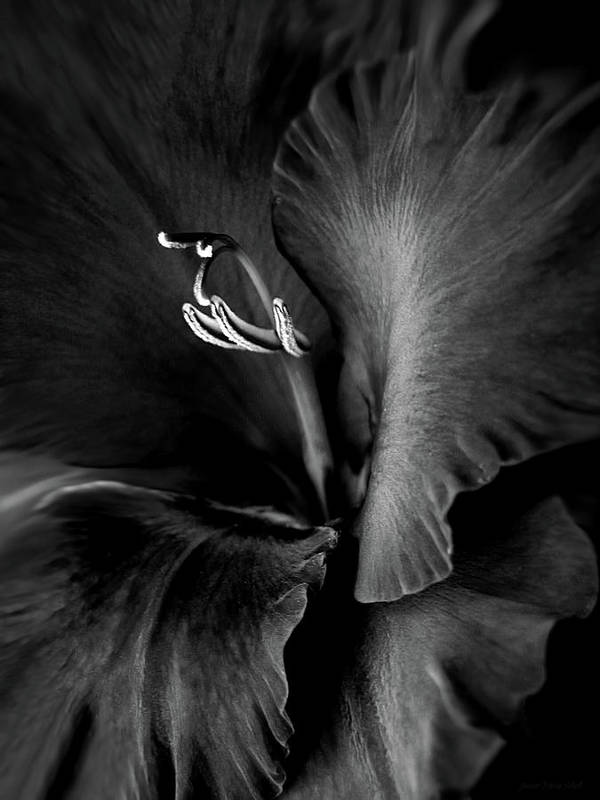 Gladiola Poster featuring the photograph Black Velvet Gladiolia Flower by Jennie Marie Schell