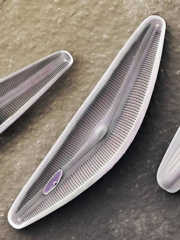 Alga Poster featuring the photograph Diatom Frustules (sem) by Science Photo Library