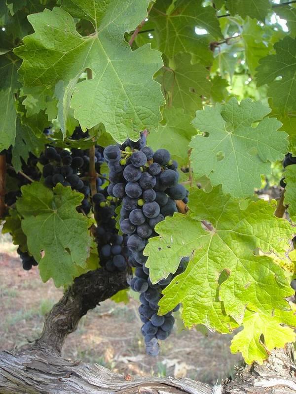 Napa Valley Poster featuring the photograph Napa Valley Vineyard Grapes by Jennifer Lamanca Kaufman