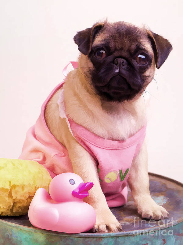 Pug Pink Dog Pet Puppy Puppies Cute Adorable Portrait Duckie Duck Bathtime Bath Wash Dress Clothed Clothing Poster featuring the photograph Pug Puppy Bath Time by Edward Fielding