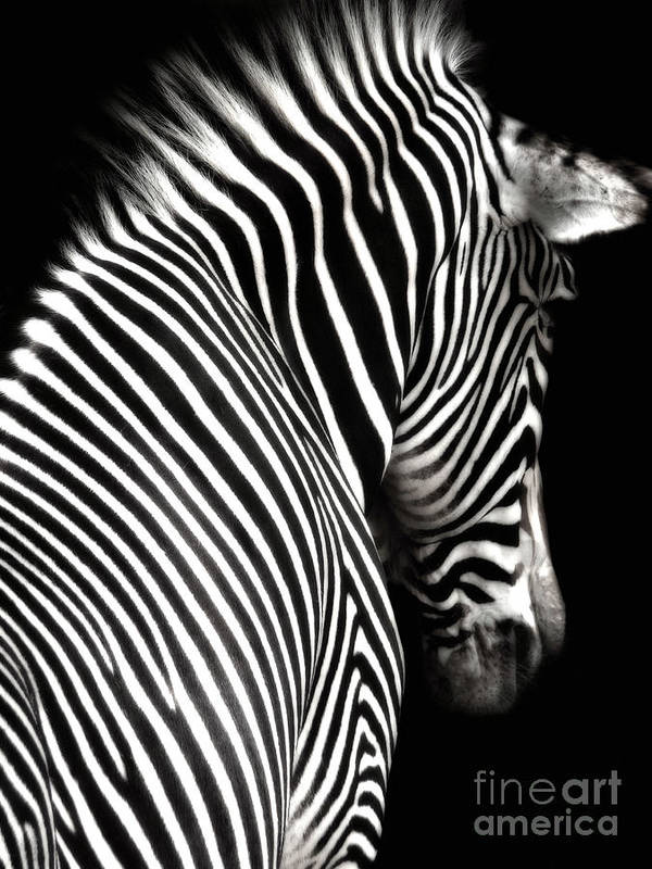 Zebra Poster featuring the photograph Zebra On Black by Elle Arden Walby