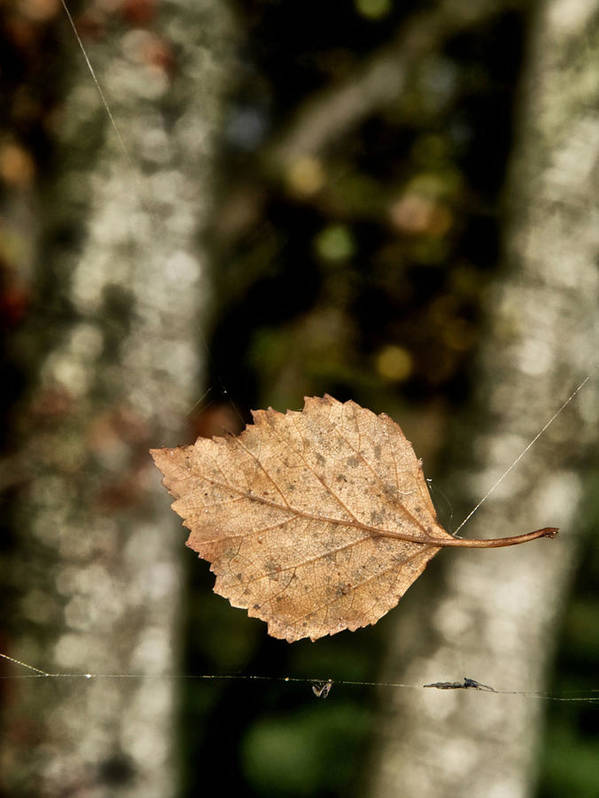 Leaf Poster featuring the photograph By A Thread by Odd Jeppesen