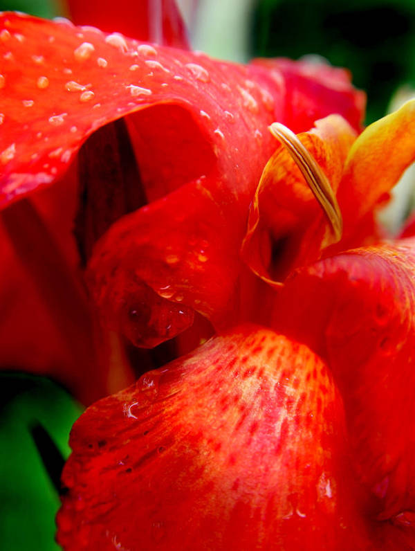 Canna Poster featuring the photograph Canna Lily by Tammy McKinley
