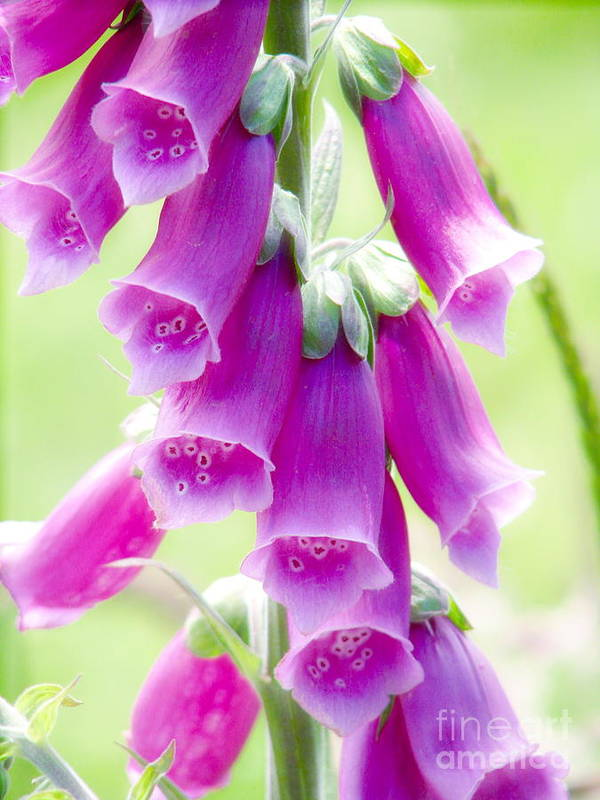 Foxglove Poster featuring the photograph Faerie Bells by Rory Sagner