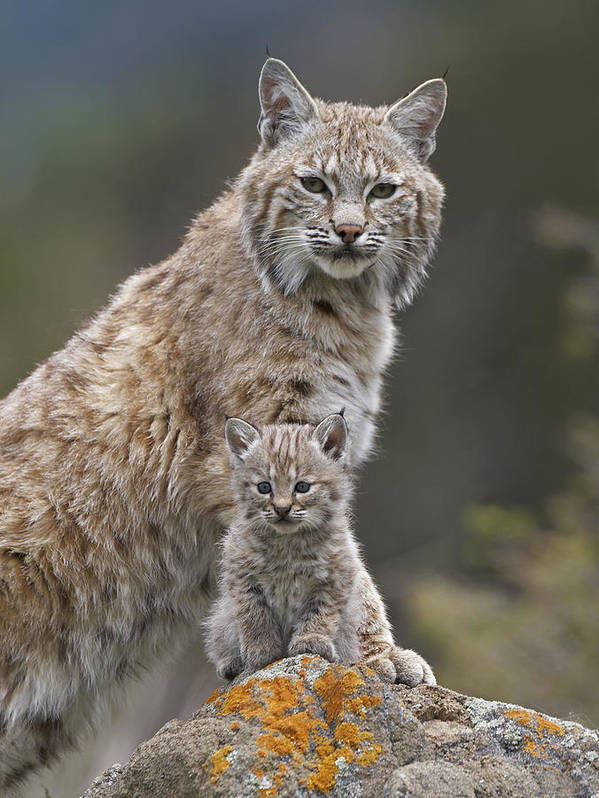 00177005 Poster featuring the photograph Bobcat Mother And Kitten North America by Tim Fitzharris