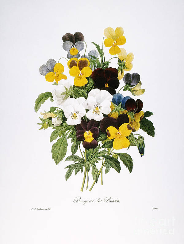 1833 Poster featuring the photograph Redoute: Pansy, 1833 by Granger