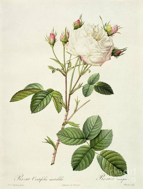 Rosa Poster featuring the drawing Rosa Centifolia Mutabilis by Pierre Joseph Redoute