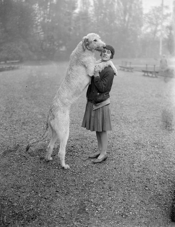 Mid Adult Poster featuring the photograph Irish Wolfhound by Bellamy
