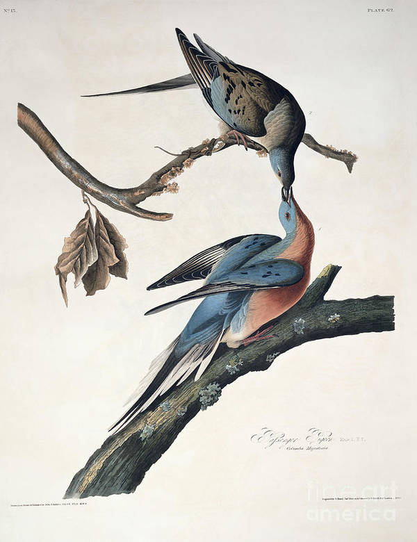 Passenger Pigeon Poster featuring the drawing Passenger Pigeon by John James Audubon