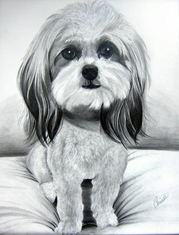 Pet Poster featuring the painting Shih Poo Graphite by Chrissie Leander