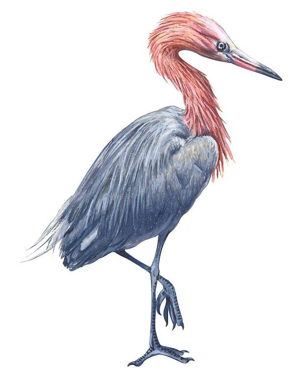 No People; Vertical; Side View; Full Length; White Background; One Animal; Wildlife; Close Up; Zoology; Illustration And Painting; Bird; Beak; Feather; Standing On One Leg; Reddish Egret; Egretta Rufescens Poster featuring the drawing Reddish Egret by Anonymous