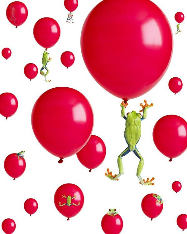 Amphibian Poster featuring the photograph Red-eyed Treefrogs Floating On Red by Corey Hochachka