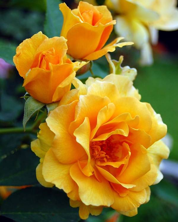 Flower Poster featuring the photograph Yellow Roses by Amy Fose